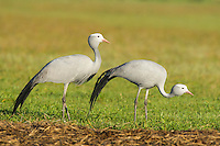 Blue Crane pair feeding amongst feed left out for cattle in a farm field, Overberg, Western Cape, South Africa