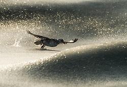 Northern fulmar (Fulmarus glacialis) in slush ice in winter, Widjefjorden, Svalbard, Norway