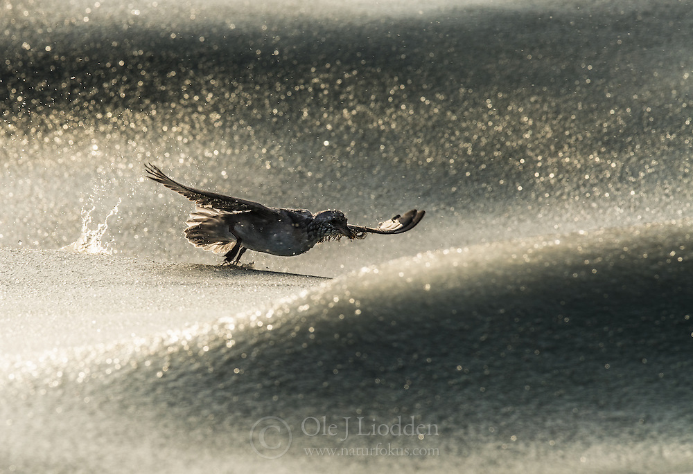 Northern fulmar (Fulmarus glacialis) in slush ice in winter, Widjefjorden, Svalbard, Norway