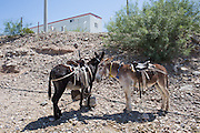 Donkeys are tied to a stake for the return trip to the Rio Grande river just below the trailer that houses the Mexican customs and border patrol where tourists must have their passports stamped and are given a 7-day visa.