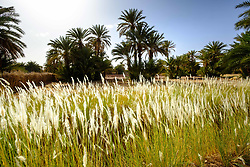 Crops growing in a small oasis near Mhamid in southern Morocco<br /> <br /> (c) Andrew Wilson | Edinburgh Elite media