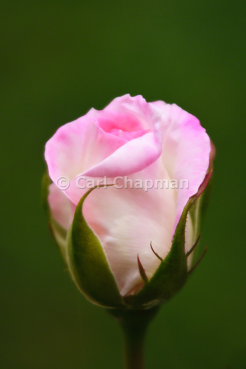 Princess de Monaco pink rose. Also known as Rosa Meimagarmic or Preference rose.
