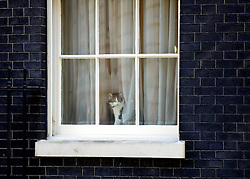 © Licensed to London News Pictures. 24/07/2012. Westminster, UK LARRY THE DOWNING STREET CAT LOOKS OUT OF A WINDOW IN THE STREET. The British Prime Minister David Cameron hosts a lunch today 24th July 2012 at Downing Street for HM The Queen and the Duke of Edinburgh with the Deputy Prime Minister and past Prime Ministers, Sir John Major, Tony Blair and Gordon Brown. Photo credit : Stephen Simpson/LNP