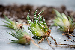 Dividing a succulent - Haworthia attenuata<br /> Young offset