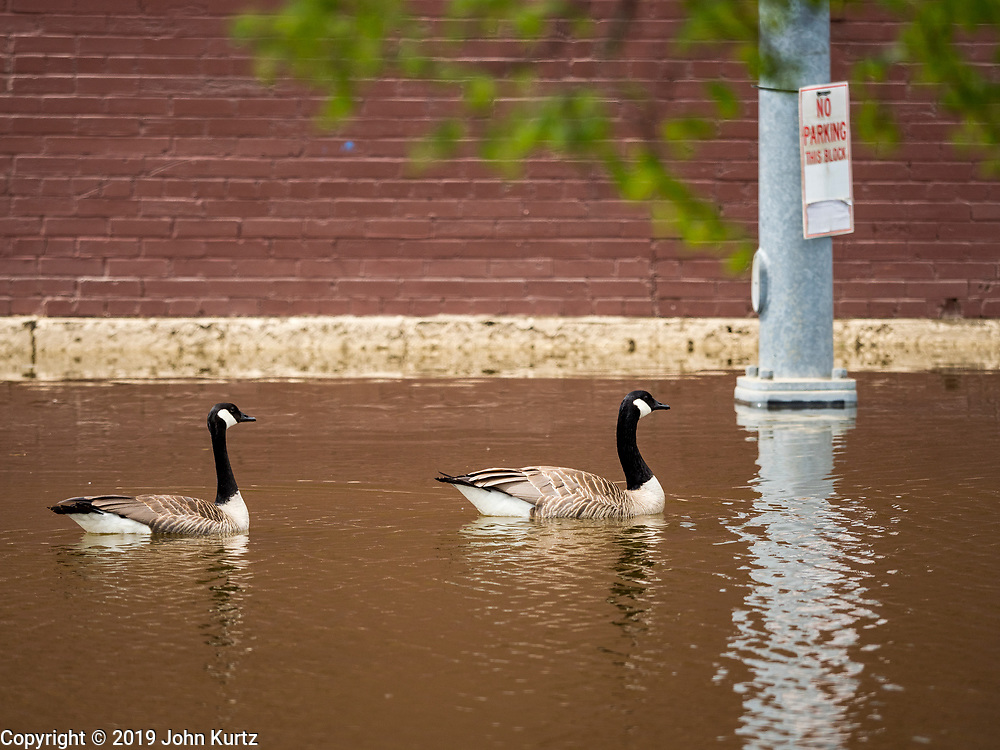 10 MAY 2019 - DAVENPORT, IOWA: A pair of Canada Geese swim up a flooded street in Davenport. The Davenport riverfront and downtown flooded on 30 April 2019 when a levee on the Mississippi River failed, allowing the river to flow into Davenport. Parts of downtown are still flooded, nearly two weeks after the levee failed. The river crested at 22.7 feet above flood stage, setting a new record. The previous highest flood stage was 22.63, set in 1993.     PHOTO BY JACK KURTZ