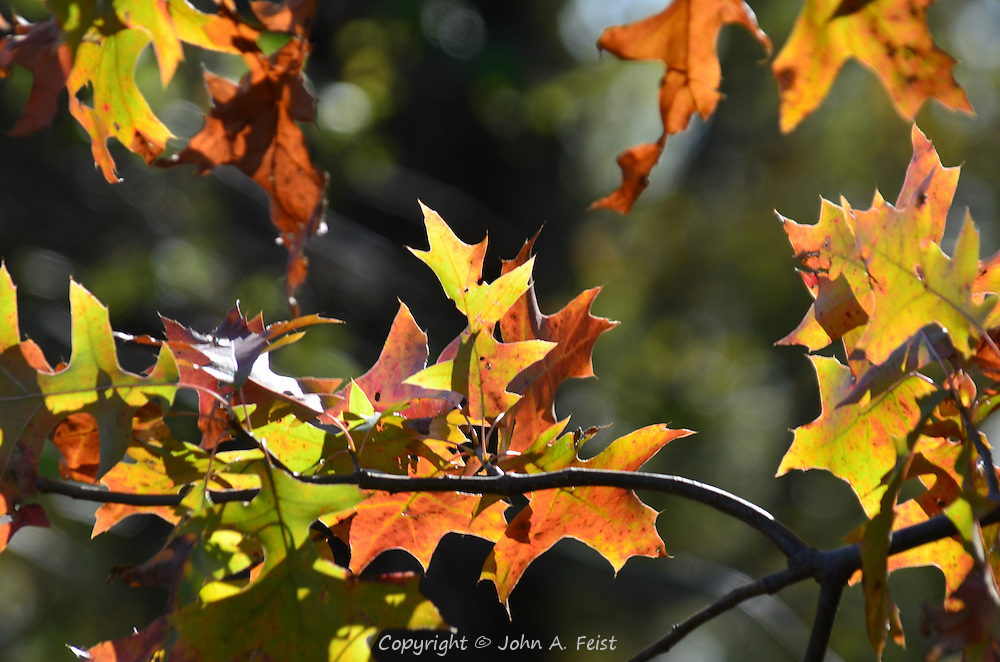 Small clusters of brightly colored oak leaves in the autumn sunshine.  Hillsborough, NJ