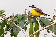 Great kiskadee (Pitangus sulphuratus) from the forest surrounding Lake Garzacocha, Ecuador.