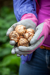 Holding a handful of daffodil bulbs ready to plant