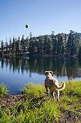 Dog (golden retriever) chasing a ball into Bull Run Lake, Carson-Iceberg Wilderness, Stanislaus National Forest, California