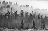 Fog and Trees - Yellowstone National Park