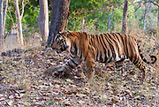 The 10 year old Bamera male bengal tiger in Bandhavgarh National Park. April 2014.