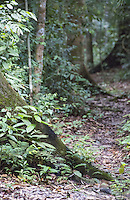 Small walking trail in tropical rainforest, Pasoh Forest Reserve, Malaysia
