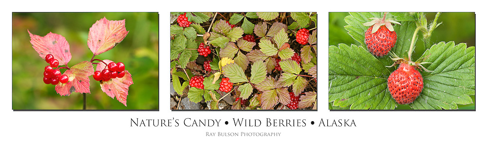 Triptych of High Bush Cranberries (Viburnum edule), Nagoonberries (Rubus arcticus), and Wild Strawberries (Fragaria virginiana) found in Southcentral Alaska.