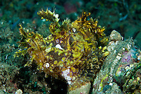 These well-camouflaged fish are highly sort after by photographers.  Their beautiful markings and flase eyespots are thought to fool the animals prey, and predators.