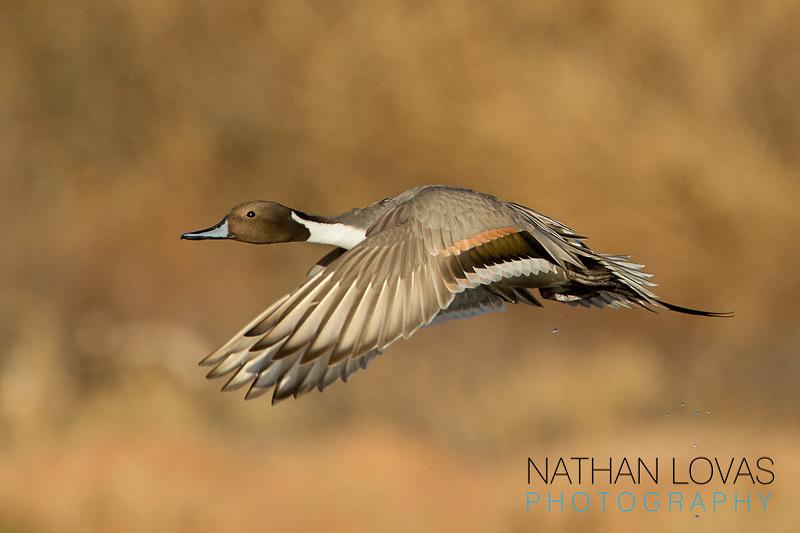 Pintail duck  in flight;  Arizona.