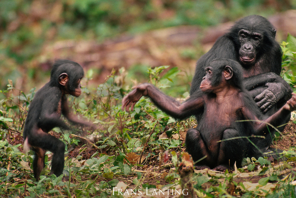 Young bonobo gesturing to infant to play, Pan paniscus, D.R. Congo