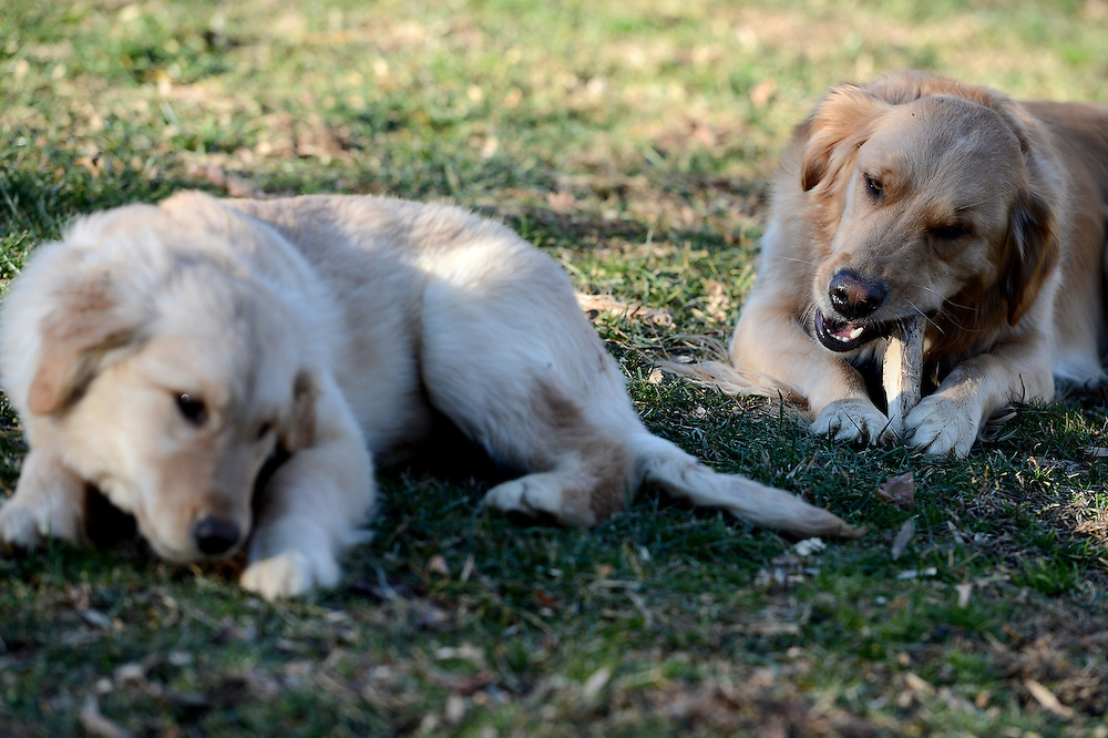 BALTIMORE, MD - January 18: Pickles, a golden retriever dog, is photographed on January 18, 2013 in Baltimore, Maryland. Website is: http://www.picklespup.com (Photo by Patrick Smith | www.patricksmithphotos.com)