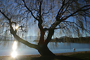 Willow Tree, Lake Wanaka, Wanaka, South Island, New Zealand