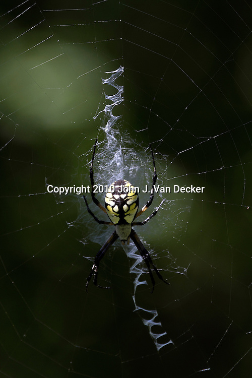 A female Black and Yellow Garden Spider, Argiope aurantia. Also called the Writing Spider; Bannana Spider or Corn Spider. The spider includes a zig zag of silk in its web called a stabilimentum whose purpose is unclear but may warn birds of the web or induce prey into the web. Leamings Run Gardens, Cape May Court House, New Jersey, USA, North America
