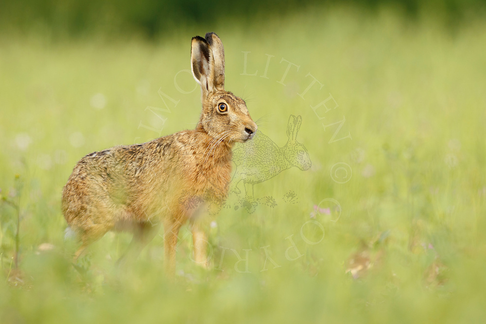 European Hare (Lepus europaeus) adult alert in 'bird cover' crop, South Norfolk, UK. July.