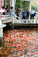 Thousands of koi gather as pellets of fish food are dropped into the water by tourists on Qingxiu Mountain.