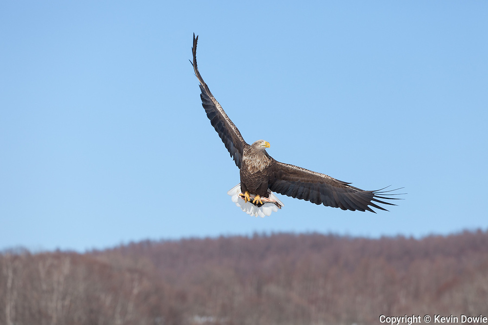 White-tailed Eagle with fish, Akan International Crane Center