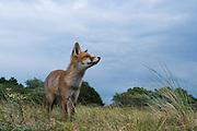 Red Fox cub. Amsterdamse waterleidingduinen, The Netherlands. June 2011.<br /> <br /> Rode vos welp. Amsterdamse waterleidingduinen, Nederlands. Juni 2011.