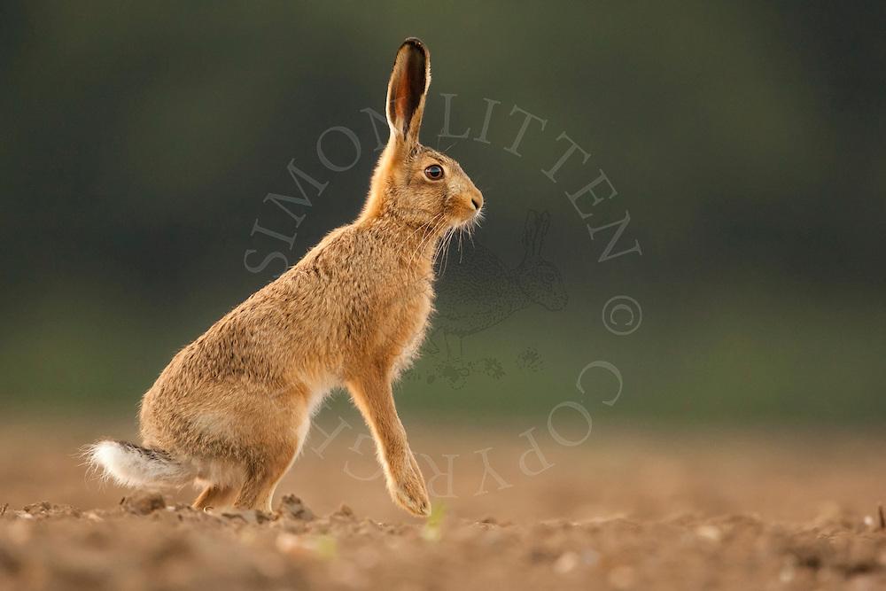 European Hare (Lepus europaeus) adult alert on hind legs in ploughed field, Norfolk, UK.