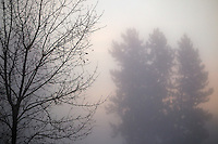 The glow from the sunrise breaking over Best Hill backlights pine trees and bare branches during a heavy fog Wednesday.