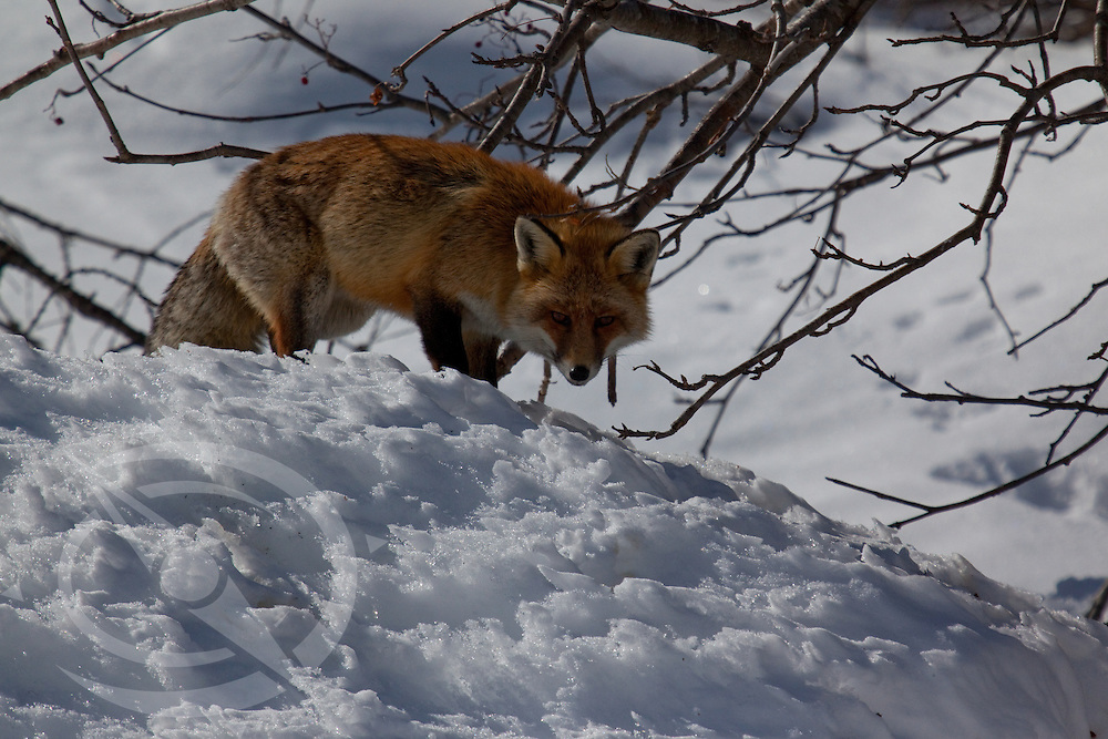 A sly looking red fox in his winter element