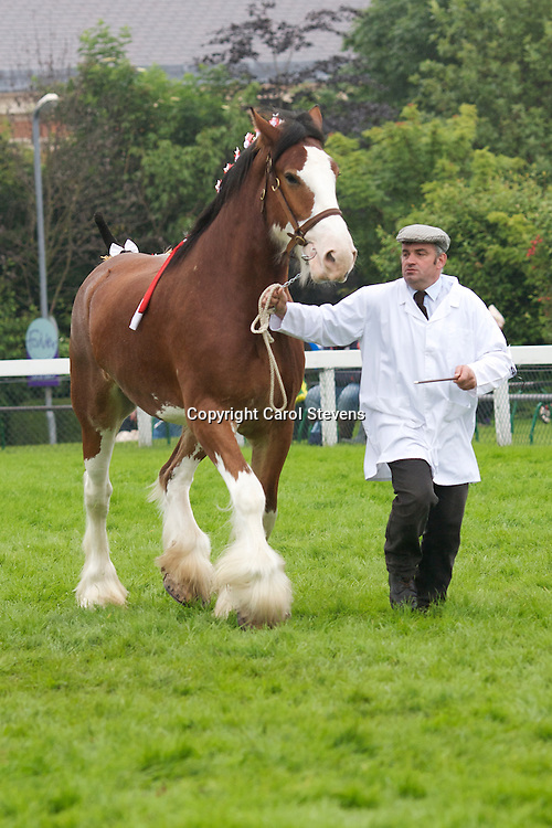 Great Yorkshire Show 2012<br /> Clydesdale Breed Classes Great Yorkshire Show 2012<br /> Clydesdale Breed Classes<br /> Mr J M McMillan &amp; Family's bay gelding  Mill Jake   s Millisle Perfection