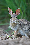 Eastern Cottontail (sylvilagus floridanus) out foraging at last light on succulent springtime grasses