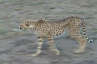 Ndutu area, Ngorongoro Conservation Area<br /> Tanzania, Africa