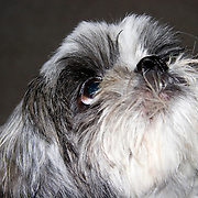 Shih Tsu, dog, pet, looking up in anticipation