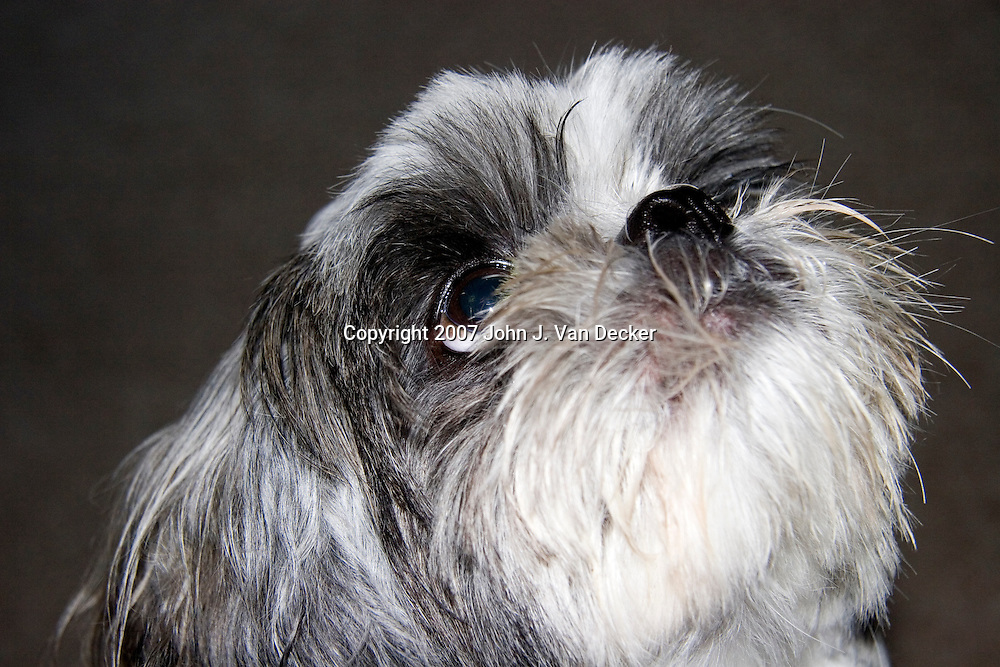 Shih Tsu, dog, pet, looking up in anticipation