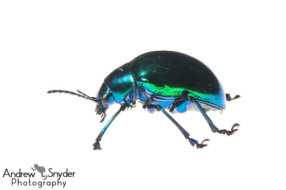 Leaf beetle (Eumolpus sp.) - Iwokrama, Guyana