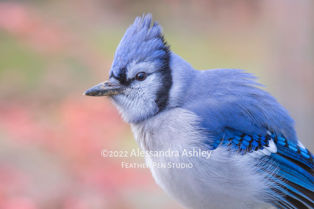 Blue jay (Cyanocitta cristata) sports fluffed feathers on cool late autumn day.
