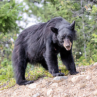 A black bear turns over rocks in search for food. Jasper National Park, Canada