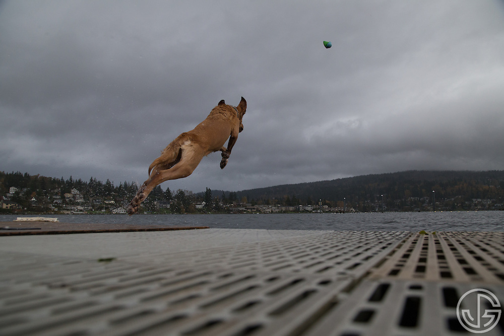 A golden retriever jumps off a dock into Lake Whatcom at Bloedel Donovan Park in Bellingham, Washington, Sunday, November 9, 2014.
