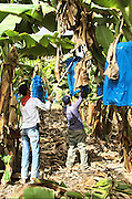 Israel, Jordan Valley, Kibbutz Ashdot Yaacov picking bananas in the banana plantation. The banana clusters are wrapped in blue plastic bags to protect the fruit from frost and birds. Cutting the banana bunch on to a workers shoulder April 2009