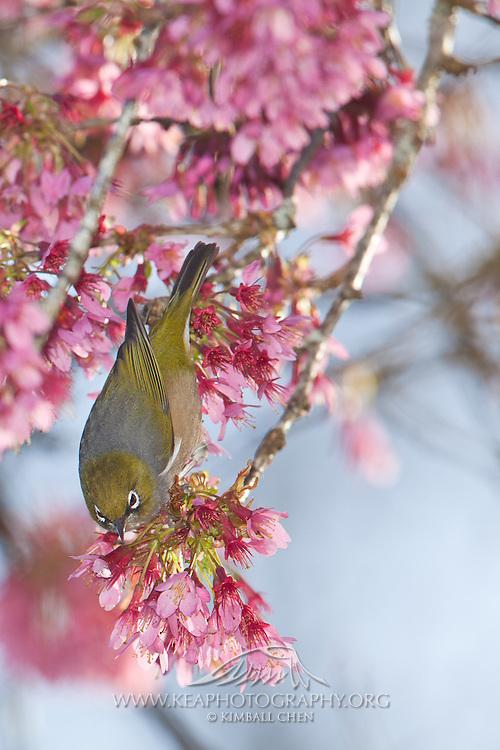 Silvereye, blossom tree, New Zealand