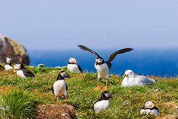 bird, Atlantic Puffin Fratercula arctica and herring gull Newfoundland CANADA
