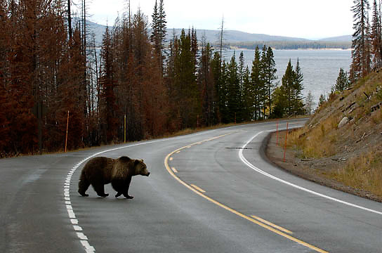 Grizzly Bear, (Ursus horribilis) A female adult crossing the road in Yellowstone national Park. Fall.
