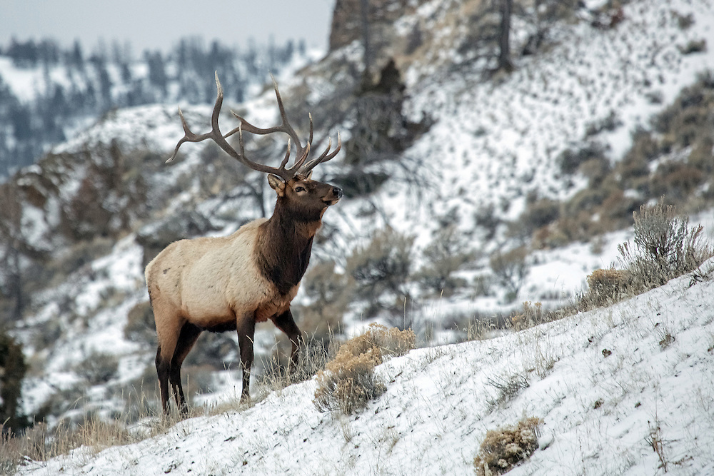 Large herds of elk inhabit the Shoshone National Forest, and during the winter months these herds move to lower elevations along the river bottom. In the early morning, one can sometimes catch a glimpse of the elusive bulls who retreat to the trees once the sun rises.