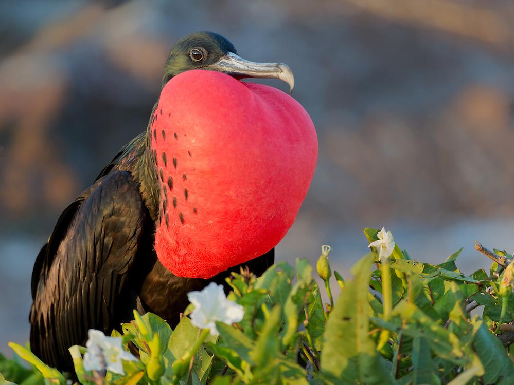 Magnificent Frigatebird (Fregata magnificens), Genovesa Island, Galápagos Islands; Ecuador; South America