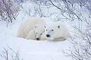 01874-11613 Polar Bears (Ursus maritimus) female and cub, Churchill Wildlife Management Area,  MB