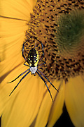 A black and yellow argiope spider (Argiope aurantia) takes a defensive stance near its web. On a garden sun flower, Portland, Oregon.