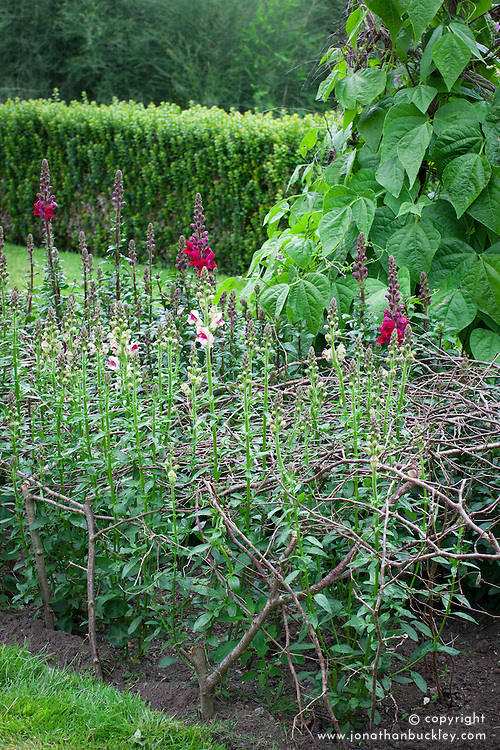Snapdragons staked with silver birch twigs. Antirrhinum Opus Red Beauty F1