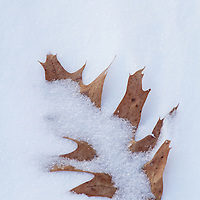 Dead leaf partially buried in snow drift, Kingsland Point Park, Sleepy Hollow, NY.