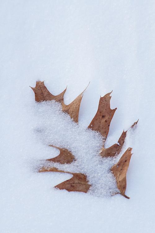 Dead leaf partially buried in snow drift, Kingsland Point Park, Sleepy Hollow, NY.